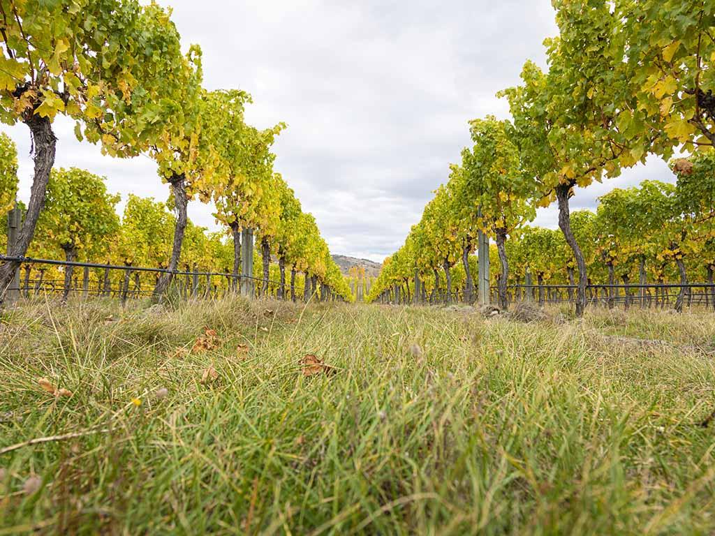 carrick vines