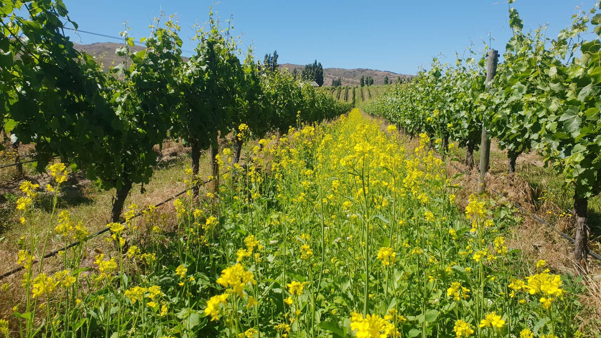 carrick cover crops web
