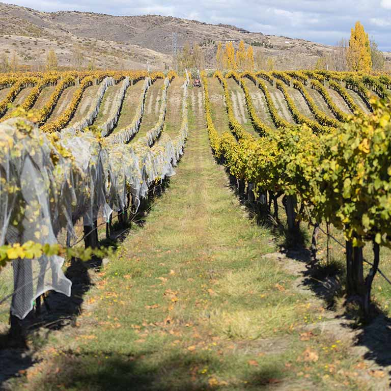 carrick vineyard row